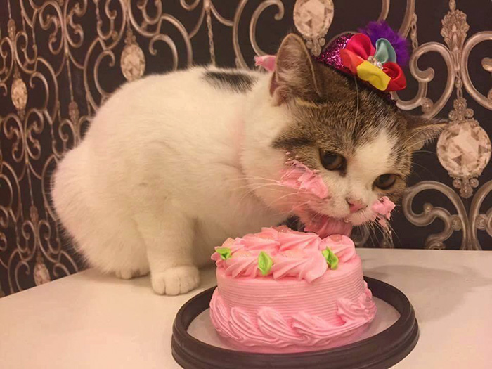 cat eating cake