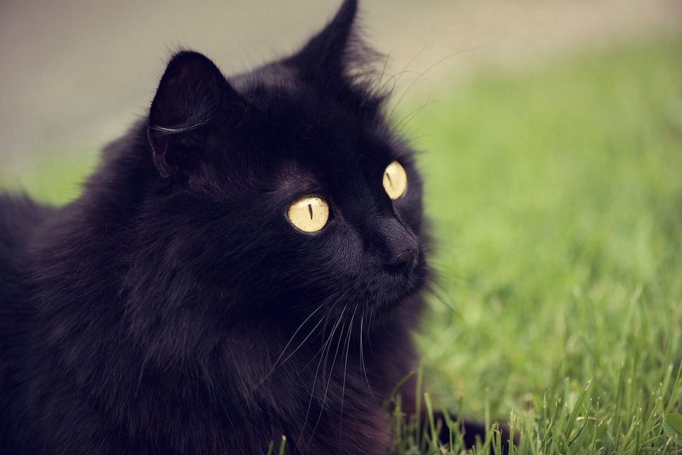 Were Black Cats Considered Good Luck