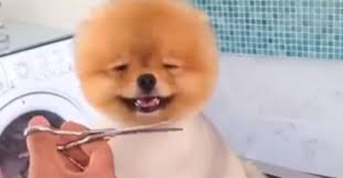 Pomeranian Loves Getting A Haircut Dog Fancast