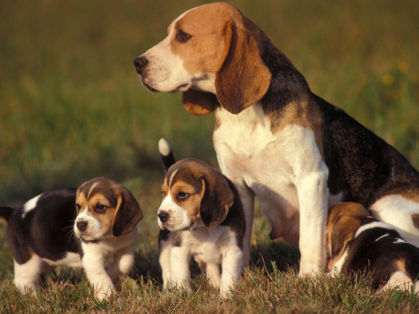 Fantastic Super Cute Beagle Adorable Dog - beagle-puppies  Best Photo Reference_646059  .jpg