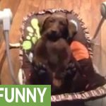 Chocolate Labrador Puppy Chills Out In Baby Swing
