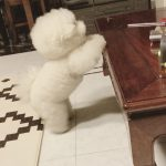 Adorable Bichon Puppy Attempts Table Jump