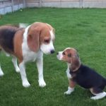 Beagle Meets Adorable Little Puppy – So Sweet
