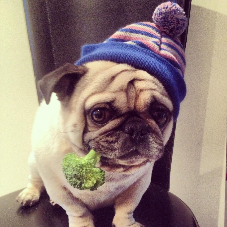 Meet Bugsy…Celebrity, Business Owner, and Philanthropist Pug