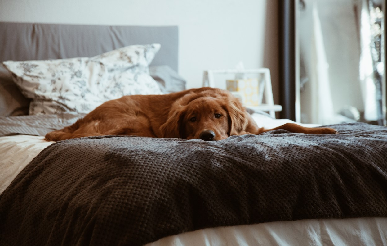 dog sleep in bed