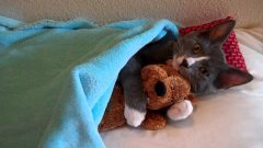 Cute Kitten Hugs Teddy Bear