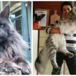The 8 Biggest Domestic Cat Breeds (Video)