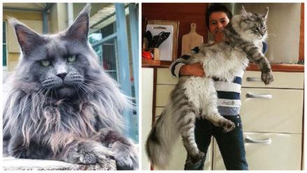 Biggest Domestic Cat Breeds