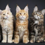Maine Coon Colors and Fur Patterns (Video)