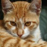 Orange Tabby Cats