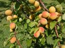 Today's quick tip for our favorite fruit and veggie picks – the Apricot. If you plan on planting any fruit trees come spring, you should
