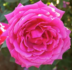 miranda lambert rose