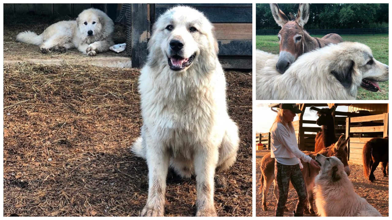 Great Pyrenees Guard Dogs